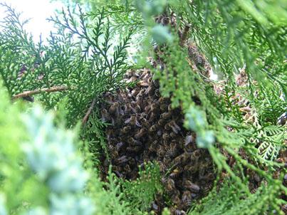 májusi méhraj a kertben 6