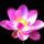 Lotusz_736335_19589_t
