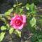 Rózsa 2010