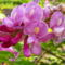 Rózsás akác - Robinia hispida