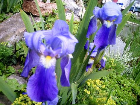 a tavaszi kerti virágok 006