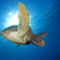tengeri teknős 1