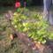 Muskátli a cseresznyefa törzsében