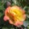 Rózsa   -  törpike