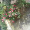 Rózsa az erkélyről
