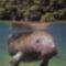 tengeri tehén 6