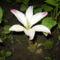 májusi virág a liliom