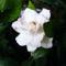 Gardénia virágja