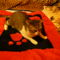 párnás-cica