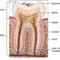 Fogfejlődés, fogászat, szájesztétika, fog, anatómia, egészséges, beteg 2