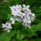 Bakony virága