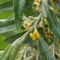 Keskenylevelű ezüstfa - Elaeagnus angustifolia