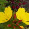 Ligetszépe - Oenothera fruticosa Fireworks