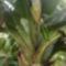 most bújik a banán virága