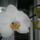 Sz.Andrea orchideák