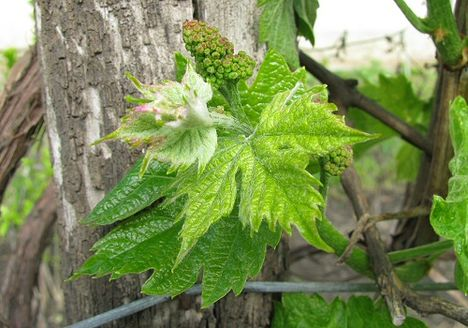 bor, szőlő, virág, hajtás 2