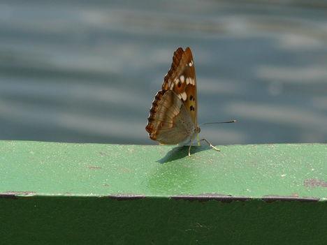 Pillangó 2