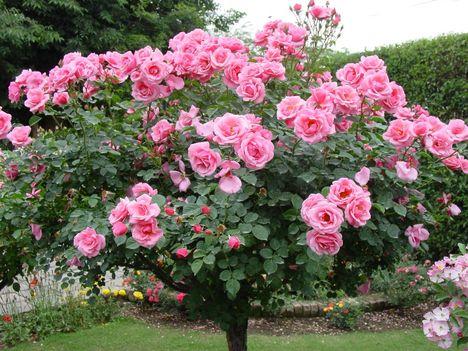 Rózsaszín Rózsafa