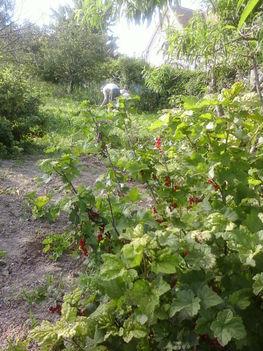 érnek a közösségi kertben a gyümölcsök