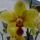 Lilla orchideák