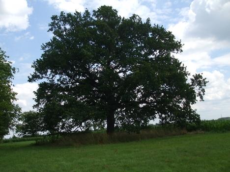 200 éves tölgyfa