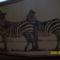 zebrapár
