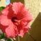 hibiszkuszvirág
