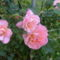 nagy bokorra növő rózsa