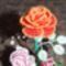 legújabb rózsám