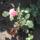 Maca virágai