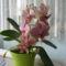 csíkos orchidea