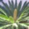 cekasz palma virag vagy termes?