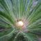 cekasz palma viragzas kezdete