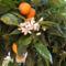 narancs virag
