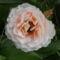 Csodás illatú rózsa