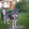 Leila az alaszkai malamut