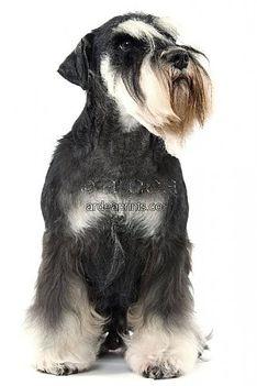 dog-schnauzer_1314212