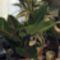 folyós filodendron