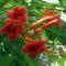 trombita virág
