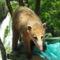 """Coati, a lopós állat, a vízeséseknél állandó """"lakó"""""""