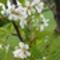 Cseresznyefa virága