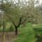 """Cseresznyefa&virágai a """"zöld szőnyegben"""""""