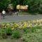 Margitsziget - Árvácskák a virágágyásban