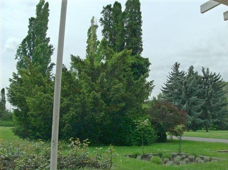 Margitsziget - Fák, növények (3)