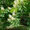 Margitsziget - Virágzó gesztenyefa (1)