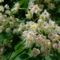 Margitsziget - Virágzó gesztenyefa (2)