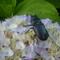 Szarvasbogár a hortenzián