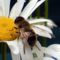 Szorgalmas méhecske