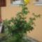 Rózsa 200
