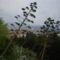 Agave virága, fája